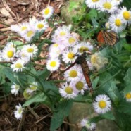 Butterfly Gardening Tips for Western Pennsylvania