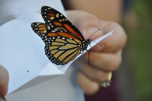 Butterfly release prices